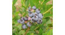 蓝莓果哪家好