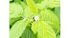 双季树莓苗首选