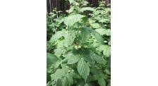 白山树莓新品种