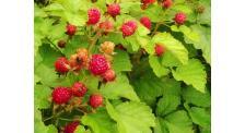 树莓果采摘价格