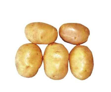尤金885马铃薯